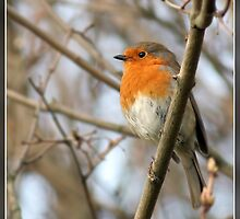 Robin by Pete Chapman