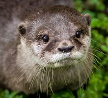 Otter close-up by elfcall