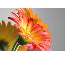 Flower on Gray Photographic Print