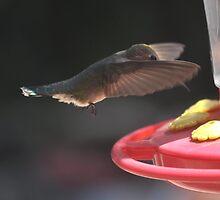 HUMMINGBIRD ANNA'S IN FLIGHT IN ANGEL WING POSITION by JAYMILO