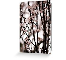 Cherry Blossoms in Spring Greeting Card