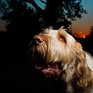 Italian Spinone ~ Woody by heidiannemorris