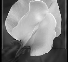 Sweet Pea by shall