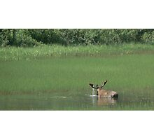 Big Bull Moose Photographic Print