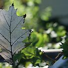 Pale leaf by Jeff Stroud