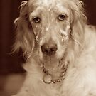 English Setter Sepia by Moth