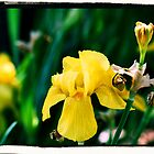 Yellow Iris Version 2 by kalliope94041