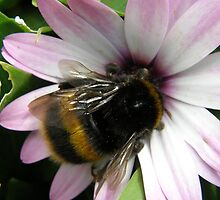 Bumble Bee on mauve Daisy by heavenscent