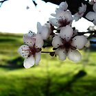 Blossom by Katherine Kakafikas