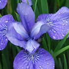 The Very Blue Iris by Betty Mackey