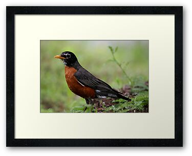 American Robin  by Gary L   Suddath