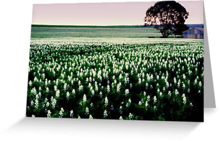lupin field  by Janine Matheson