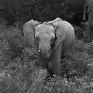 Baby Elephant by HelenBanham