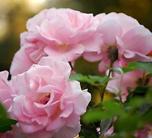Pink Roses by Nancy