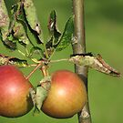 Apples by HelenBanham