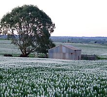 Shed with Lupins by Steve Thomas