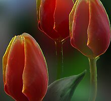 Three Tulips by ©   Elaine van Dyk