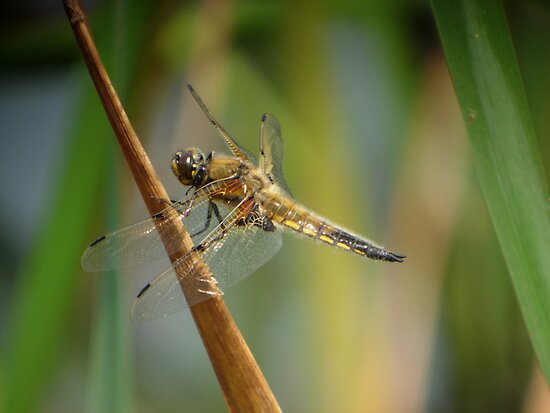 Four-spotted Chaser by Monster