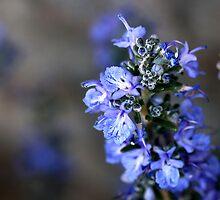 Rosemary by lox83