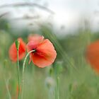 Moody poppy by DaveP