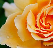 Peach Rose 2 by Geoff White