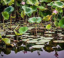 Water Lilies Yellow Water by Russell Charters