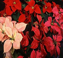 Poinsettia Christmas Holiday Flowers by taiche