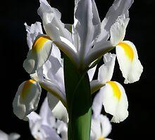 Aligned Irises by Sandra Chung