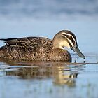 Pacific Black duck by Jennie  Stock