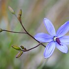 Dianella flower by Jennie  Stock