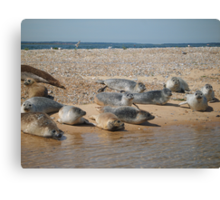 Seals sunbathing Canvas Print