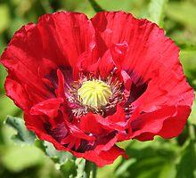 Big poppy by Sue Hammond