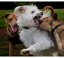 Dogs with game face on .6 Photographic Print