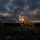 Poppies at Sunset by Jeff Rayner