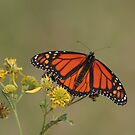 Monarch Butterfly by Christopher  Ewing