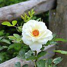 White Rose by vette