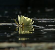 Lily Dip by velveteagle