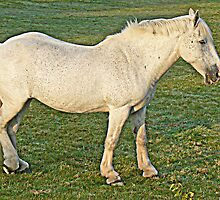 dapple gray /white horse  in field  by Rexcharles