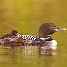 Common loon twins by Jim Cumming