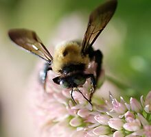 Bee on Sedum by jude walton