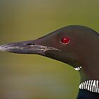 Common Loon profile by Jim Cumming