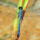 Eastern Pondhawk Dragonfly by Bonnie T.  Barry