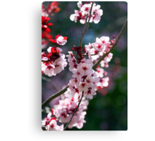 Pink Cherry Blossom Flowers Canvas Print