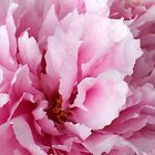 Pink Peony by Terri Foster