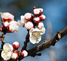 Apricot Blossoms by James  Messervy