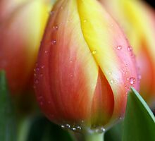 Tulips by momleeb