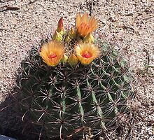 Southwestern Barrel Cactus Flowers 1972 by tkepner