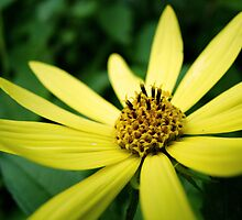 Yellow Flower by sara montour