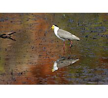 Masked Lapwing ~ Coloured By Nature Photographic Print