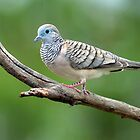 Peaceful Dove. Cedar Creek, Queensland, Australia. by Ralph de Zilva